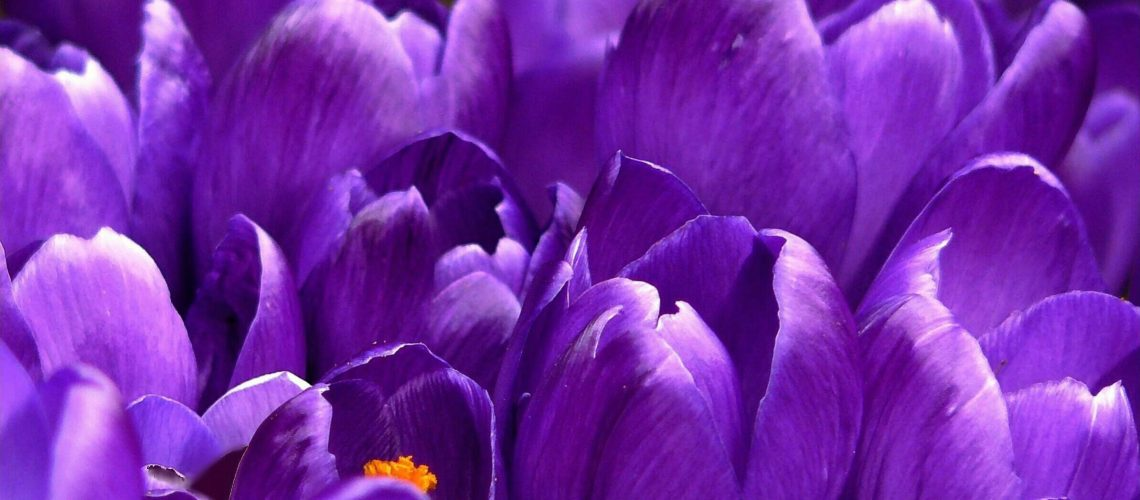 crocus-flower-spring-purple-59992